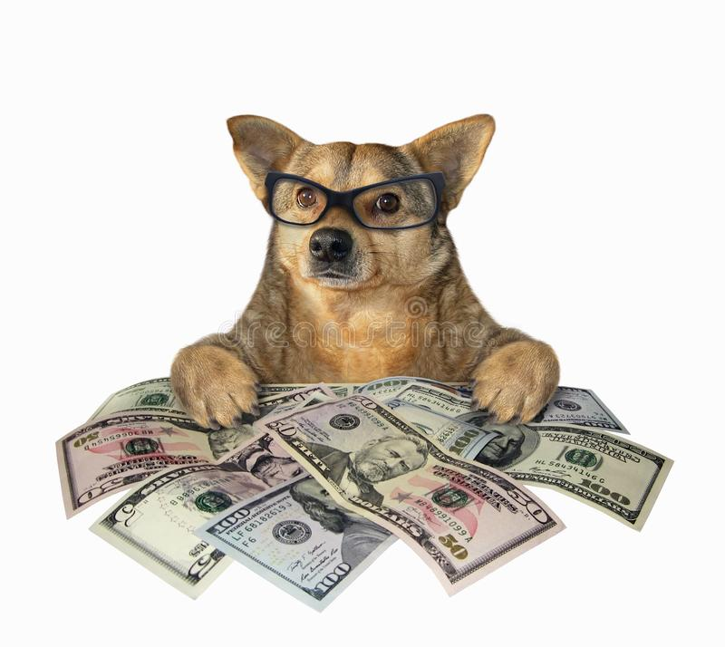 Dog with a lot of dollars. The dog businessman in glasses has a lot of american dollars. White background. Isolated stock photography