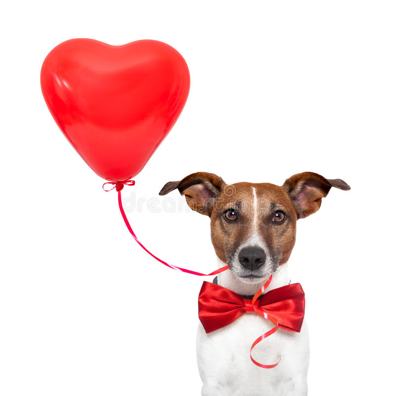 Dog in love. With a red heart balloon stock photos