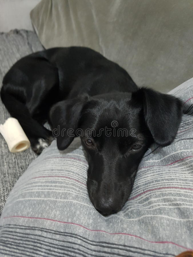 Dog love cachorro eyes pena. Dog love cachorro cacau fêmea animal animals free lonely beauty royalty free stock photo