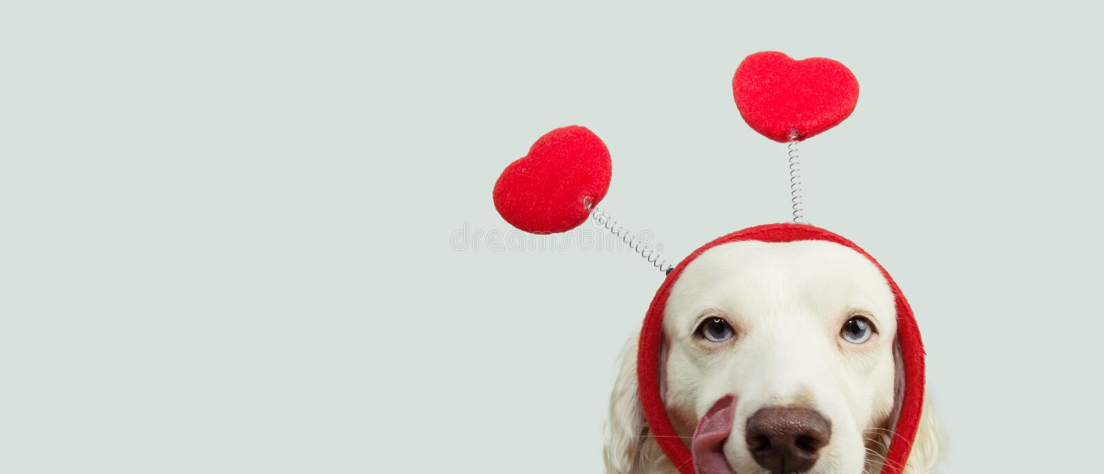 Dog in love for happy valentines day with red heart shape diadem and tongue linking its nose. isolated on gray background stock photo