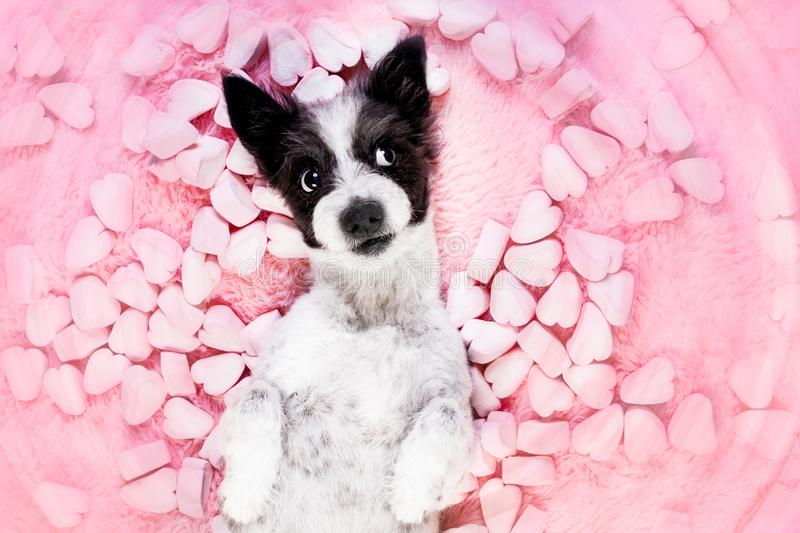 Dog love rose valentines. Dog looking and staring at you , while lying on bed with valentines rose in mouth, in love, marshmallows as a background royalty free stock photos