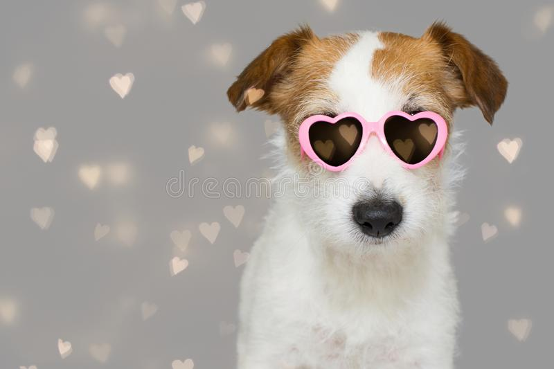 DOG LOVE VALENTINE DAYS. CUTE JACK RUSSELL WEARING PINK EYE SUNGLASSES WITH HEART SHAPE. ISOLATED AGAINST GRAY BACKGROUND WITH. DEFOCUSED HEARTS stock photography