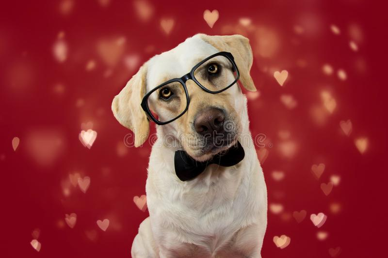 DOG LOVE VALENTINE DAYS. CUTE LABRADOR WEARING GLASSES AND BLACK NECK TIE. ISOLATED SHOT AGAINT RED BACKGROUND WITH DEFOCUSED. HEARTS royalty free stock photo