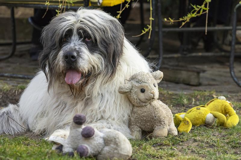 Fluffy dog playing with toys royalty free stock photos