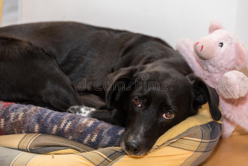 Dog with lucky pig stock images