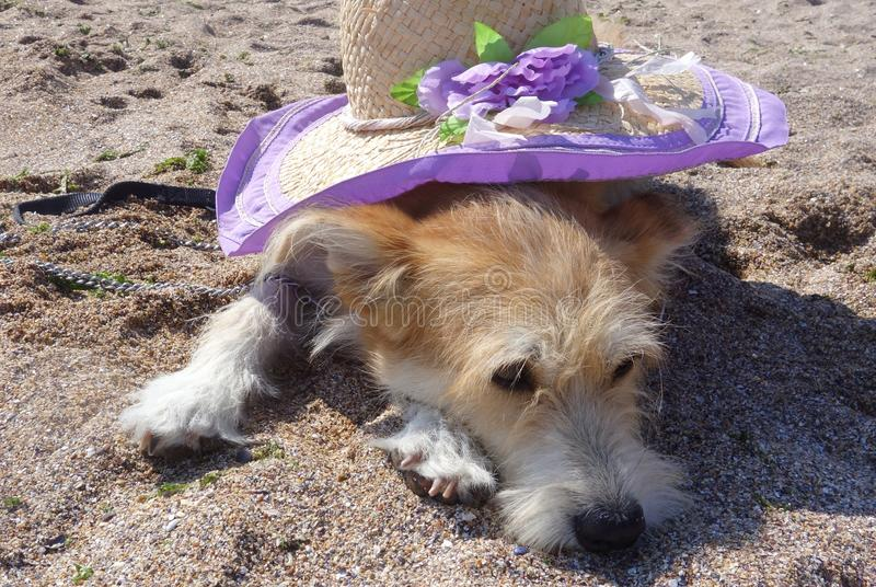 Dog lying on sand with hat on his back. Dog lying on beach with violet straw hat on his back royalty free stock photography