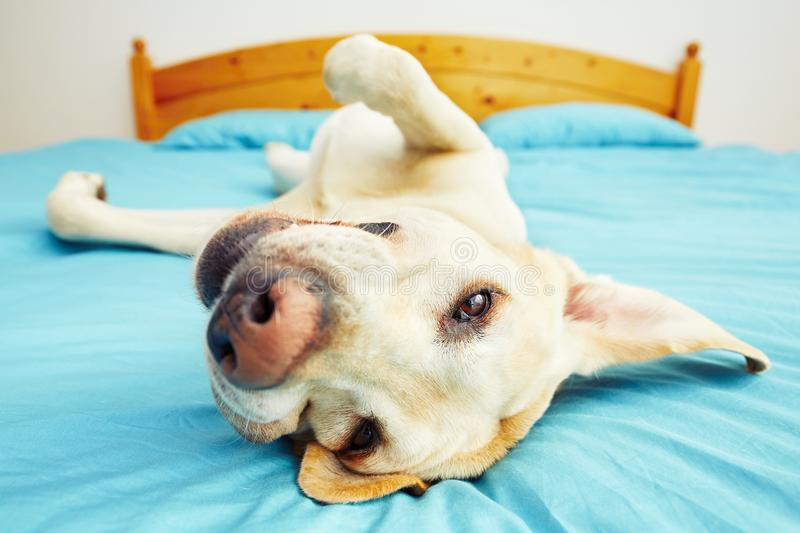 Dog is lying on the bed stock photography
