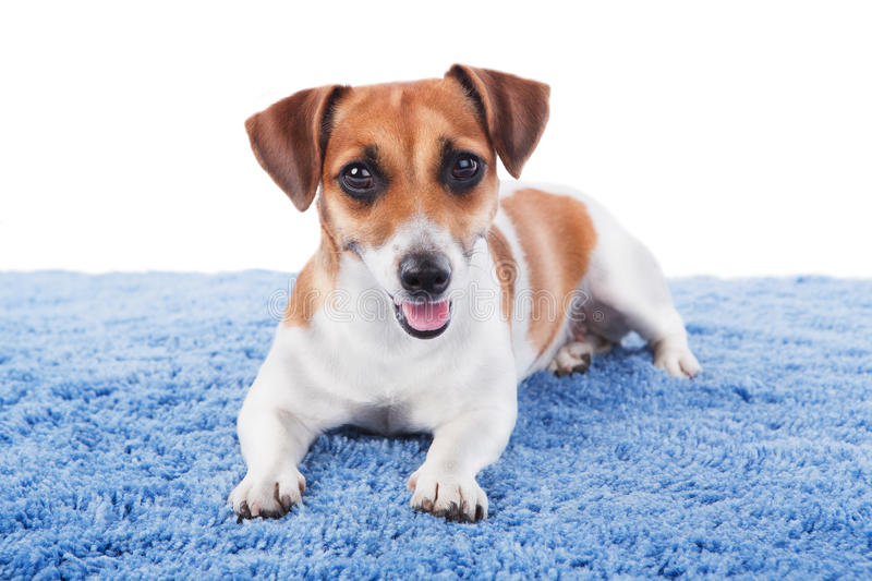 Dog is lying on blue rug. Beautiful puppy and look at the camera. Jack Russel terrier looking at the camera with interest. Studio shot. White background stock image