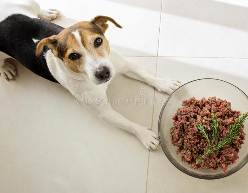 The dog lying with bowl of raw minced meat stock images