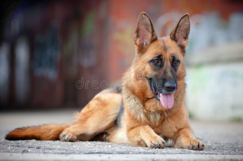 Download Dog lying on concrete stock image. Image of lying, adorable - 25657345
