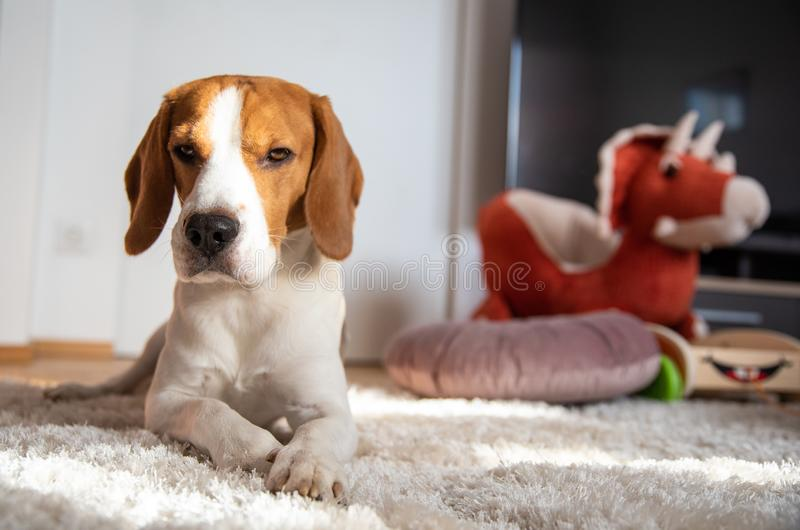 Dog lying down on a floor in bright room next to kids toys stock photo