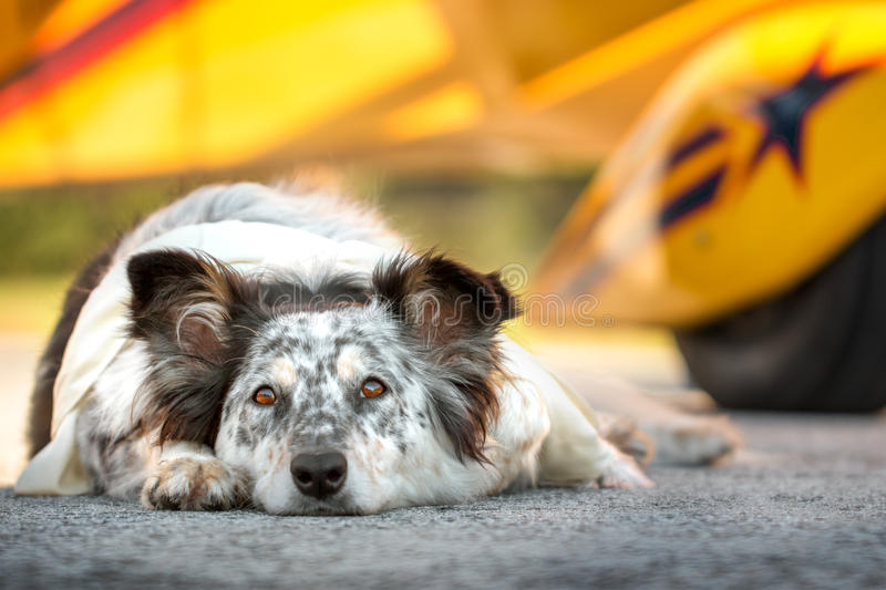 Dog lying down in front of airplane stock images