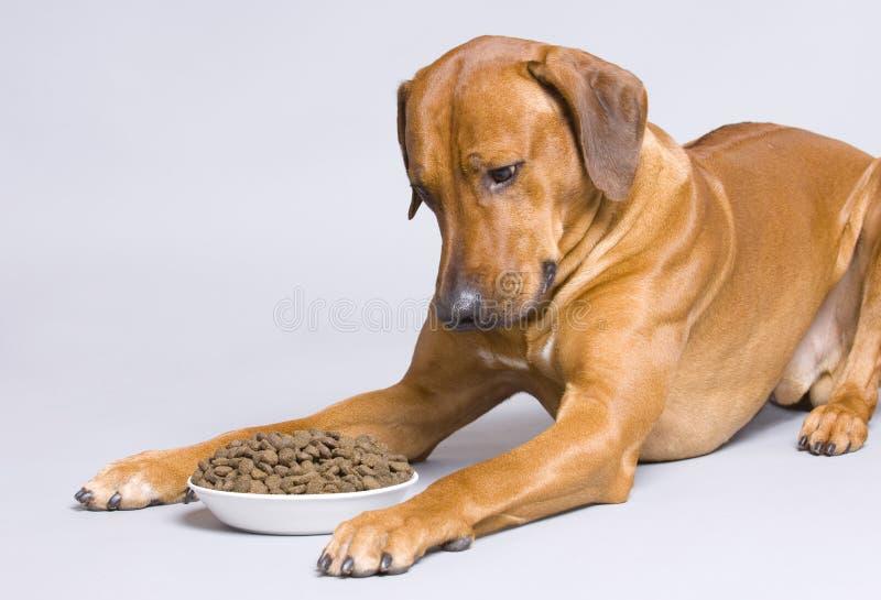 Dog lying at full food bowl stock photos