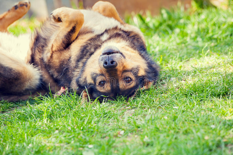Dog lying on the grass royalty free stock photo