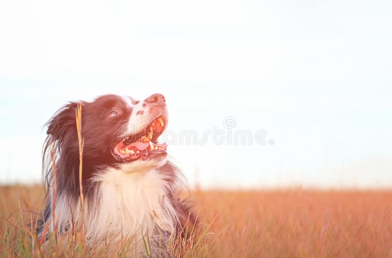 Dog is lying in grass in park. The breed is Border collie. Background is green. He has open mouth and you can see his tongue. He stock images