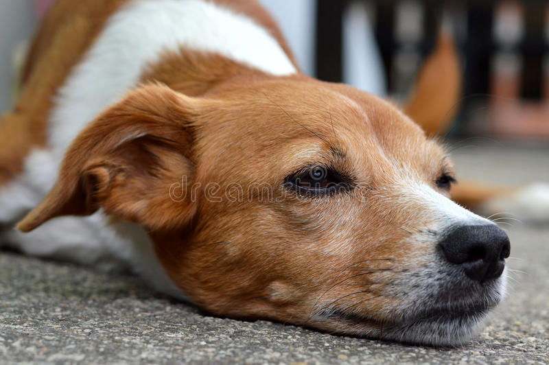 Dog lying on the ground royalty free stock photos