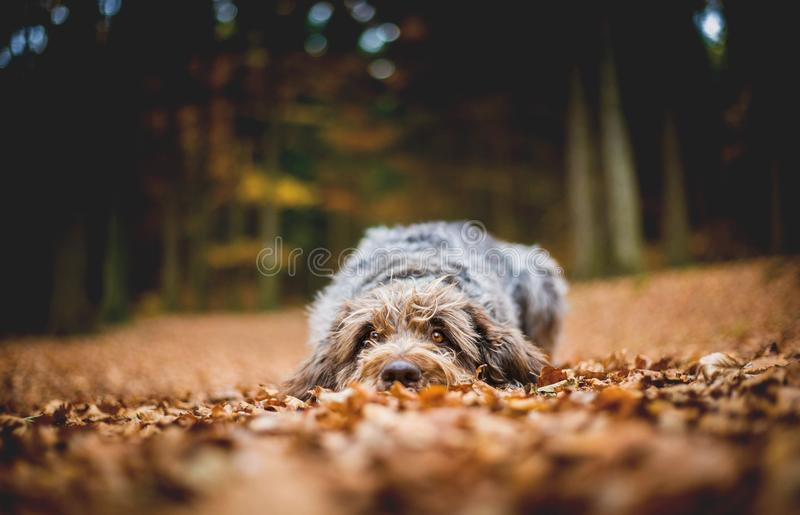 Dog Lying on the Ground in the Forest in the Autumnal Faded Leaves. Bohemian Wire Haired Pointing Griffon. royalty free stock photo
