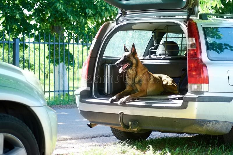 The dog is lying and happily looking out of the luggage boot. stock photo
