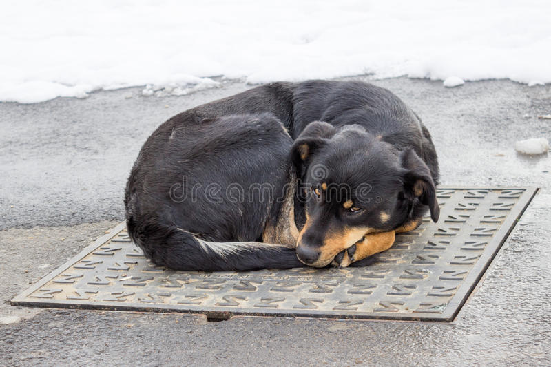 Dog lying on iron man-hole cover in winter time stock photography