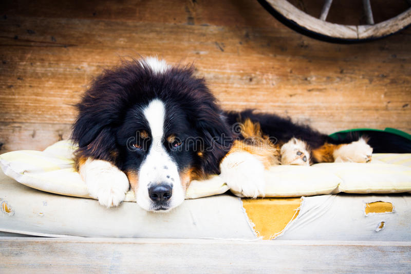 Dog Lying On Mattress. Busy being cute stock images