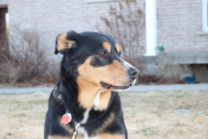 Dog lying royalty free stock photography