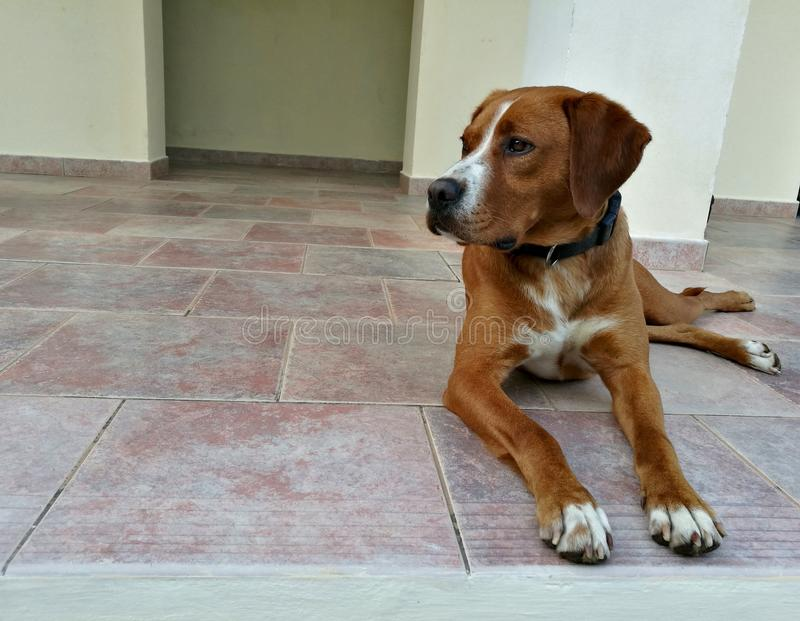 Dog lying on a tile floor. Brown dog lying on a tile floor stock image