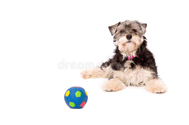 Dog lying on a white surface. A dog, a crossbred between a Yorkshire terrier and a Shi Zu, lies down on a white surface. There is a ball in front of him. The dog stock photography