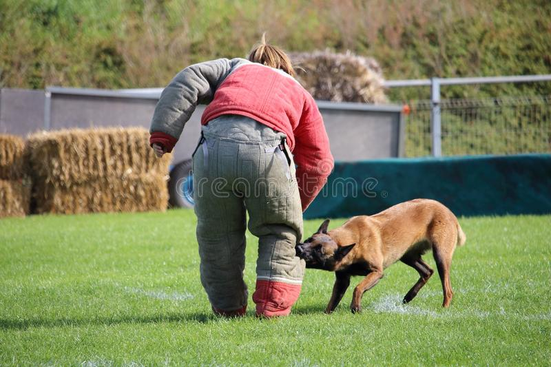 The dog malinois must watch the suitcase and attack the attacker for the canine sport contest. A dog malinois must watch the suitcase and attack the attacker for stock photography