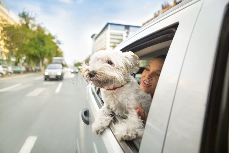 Dog maltese sammanträde i en bil och att se till och med öppet fönster royaltyfri foto