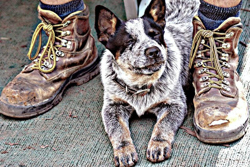 Dog and Master. The love between a dog and his master is very strong. A Kelpie needs a balanced environment in which to develop satisfactorily. By this we mean stock photo