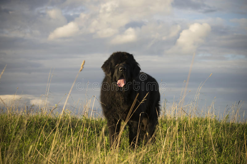 Dog in meadow showing tongue royalty free stock photos