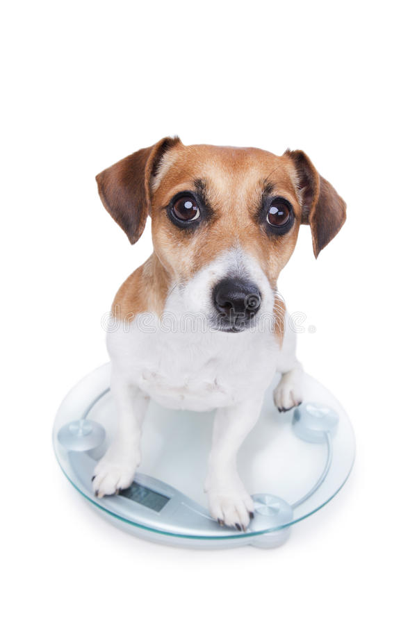 Dog measures your weight. Puppy sits on the scales and looks into the camera stock photography