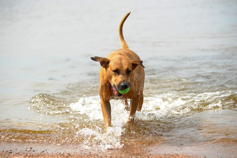 Dog mestizo with a ball in the water. Red dog mestizo with a ball in the water stock photo
