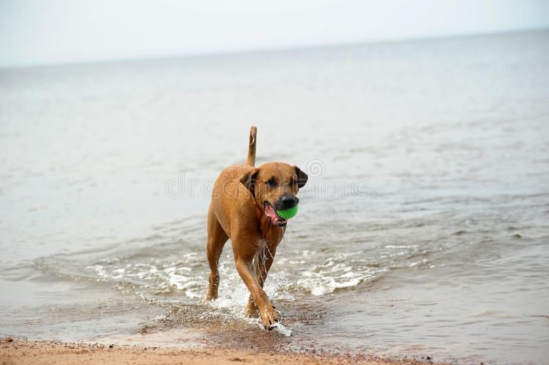 Dog mestizo with a ball in the water. Red dog mestizo with a ball in the water royalty free stock images