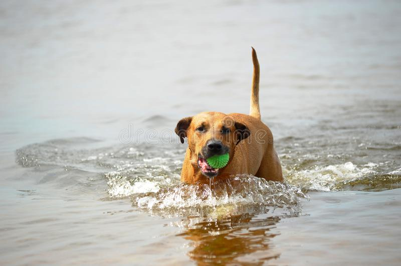Dog mestizo with a ball in the water. Red dog mestizo with a ball in the water stock images
