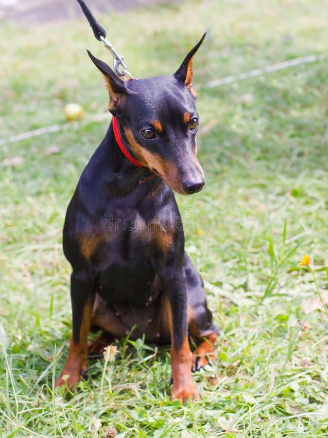 Dog Miniature Pinscher breed sitting stock photo