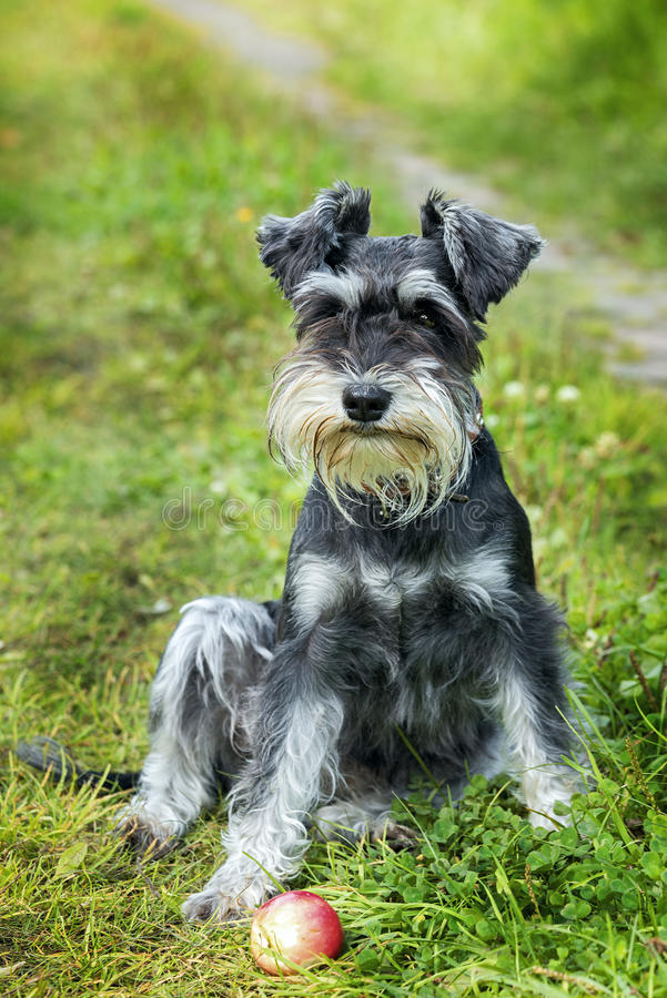 Dog. Miniature schnauzer sits on the grass outdoor royalty free stock photo