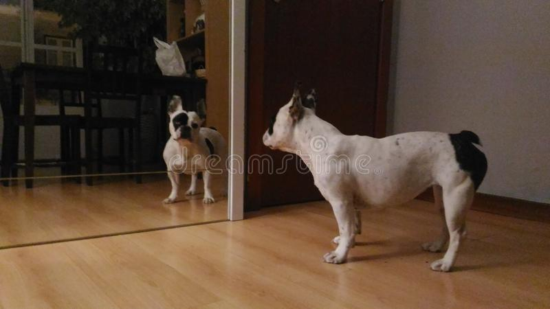 Dog in mirror stock image