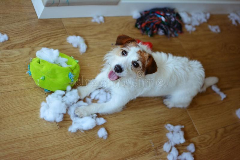 DOG MISCHIEF. FUNNY AND GUILTY JACK RUSSELL DESTROYED A FABRIC AND FLUFFY BALL AND TOYS AT HOME. HIGH ANGLE VIEW.  stock photo