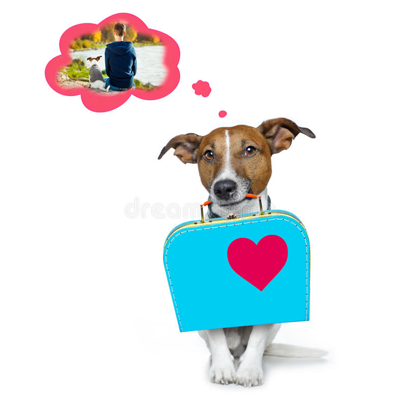 Dog missing owner and abandoned. Jack russell dog abandoned and left all alone on the road or street, with luggage bag , begging to come home to owners, isolated stock images