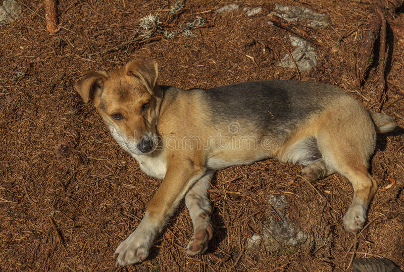 Dog mongrel puppy. Playful puppy in the fir forest royalty free stock image