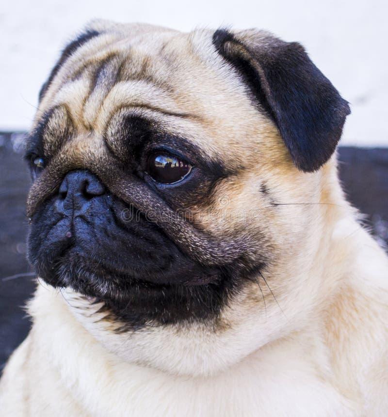 Dog mops Övre framsida för slut av gullig mops royaltyfri fotografi
