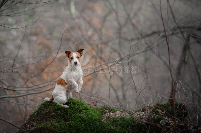 Dog on the nature in the forest. Jack Russell Terrier on a walk. Active pet. Dog in the moss forest. Jack Russell Terrier on a walk. Active pet on nature stock photos
