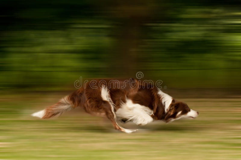 Dog in motion. Motion blur of a large dog running