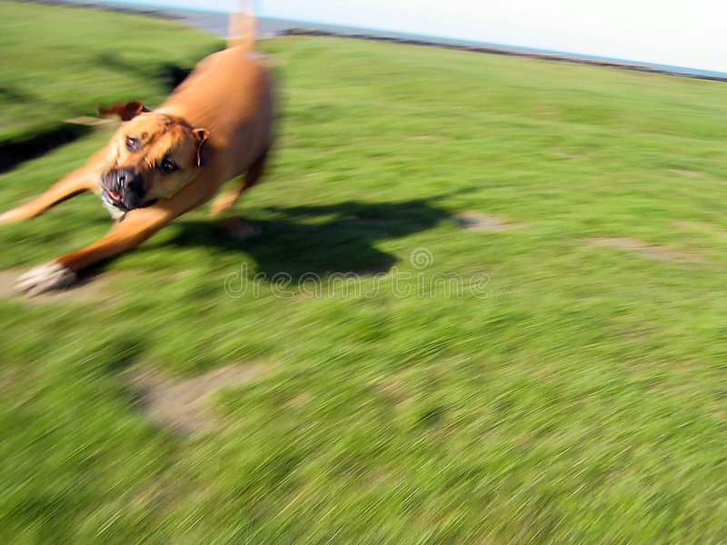 Dog in motion 2 stock images
