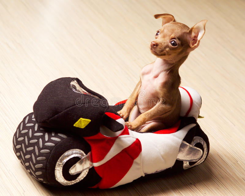 Dog on motorcycle. Funny little dog on motorcycle royalty free stock images