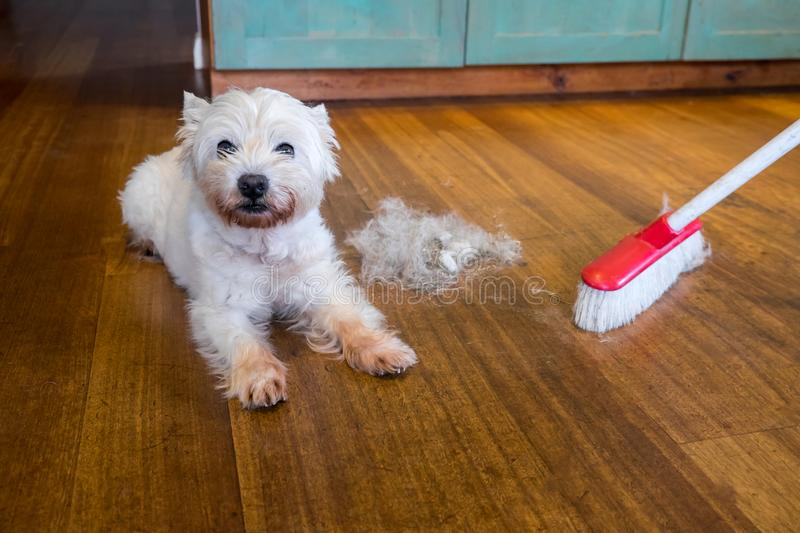 Dog moulting and shedding hair: broom sweeping fur from west highland white terrier indoors royalty free stock photo