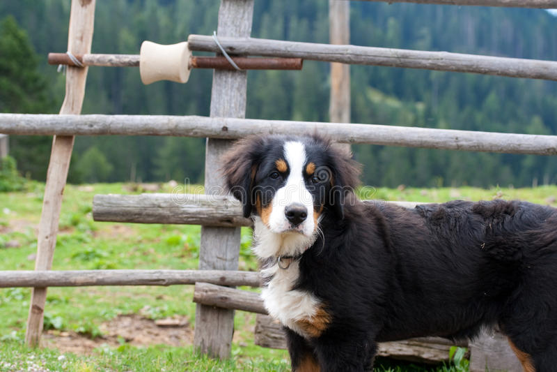 Download Dog in mountain stock photo. Image of farm, collar, bernard - 11349444
