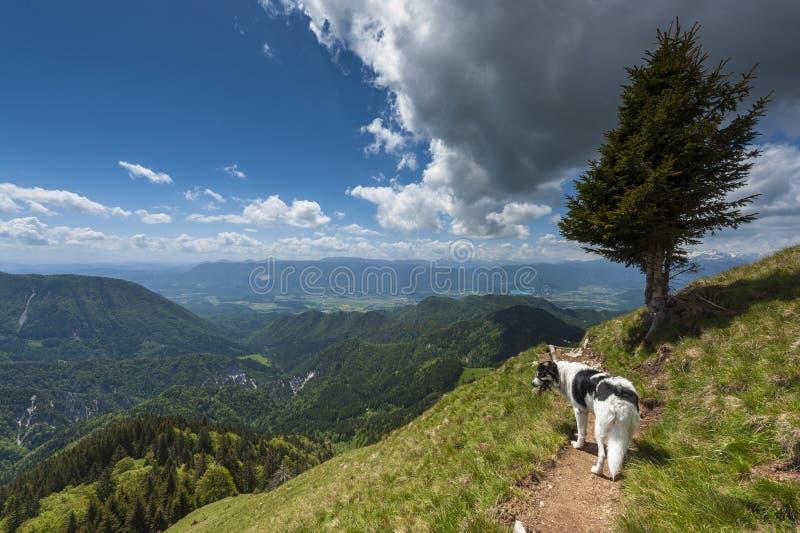 Dog on mountain path stock photography