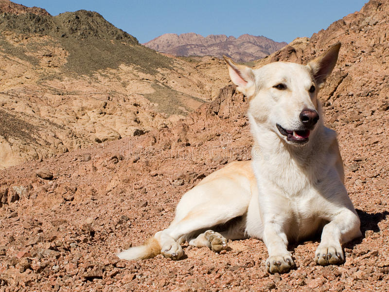 Dog in the Mountains. Of the South Sinai desert, Egypt stock images